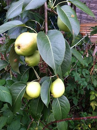 fruit pears small